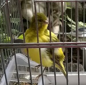 "PURE BREED ""RARE"" FIFE CANARY/CANARI MALE 2017 YELLOW/GREEN"
