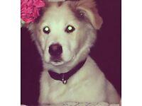 Husky mix Labrador 😍