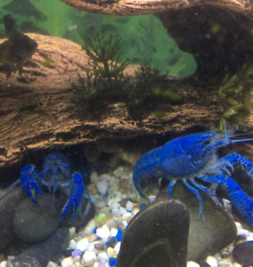 Electric Blue Lobsters