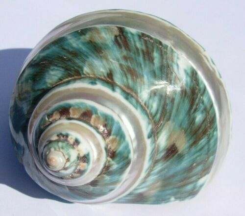 Teal Green Mother of Pearl Banded Turbo Sea Shell Hermit Crab #5