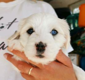 Healthy Maltipoo puppies vet checked