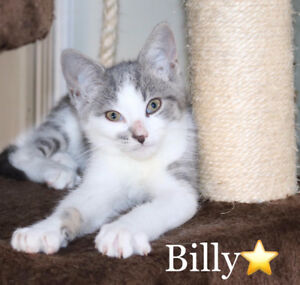 Billy, Grey/White Kitten for Adoption with KLAWS