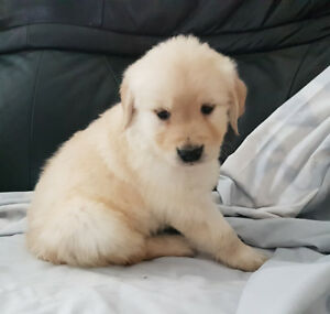 Golden Retriever MALE Puppies - Please Read Complete Ad