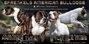 Champion bred American Bulldog Puppies due June 26