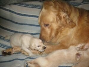 Golden Retriever Puppies image0