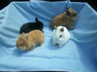 DWARF RABBITS FOR SALE EXCELLENT PETS!!