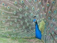 Peacocks / Peafowl For Sale