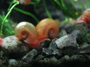 Red Ram's horn snails and duckweed