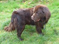 Newfoundland Dog - Brown Male - for sale