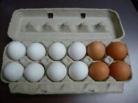 oeufs de poulet pondeuse à vendre---pas cher
