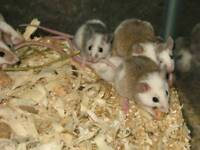 4x female mice