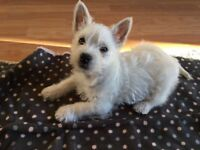West Highland Terrier pup for sale