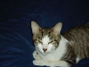 Lost- Male Grey White Black Tan Tabby