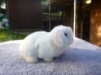 Gorgeous friendly minilop bunnies for sale