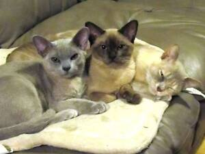 Burmese kittens  with COAWA INC.  with CAT State Legistration Mount Barker Plantagenet Area Preview