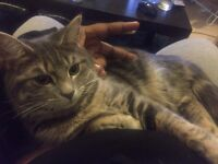 Persian-Maine Coon in need of loving home