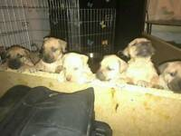 English mastiff X American bulldog puppies ready now