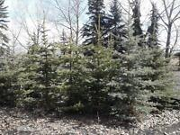 Colorado Blue Spruce Trees 5' to 7'