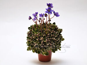 African Violet @Mac&#039;s Pizza Pizzicato@GIRL@mini@leaf@ - <span itemprop='availableAtOrFrom'>Dobre Kujawskie, KUJAWSKO-POMORSKIE, Polska</span> - African Violet @Mac&#039;s Pizza Pizzicato@GIRL@mini@leaf@ - Dobre Kujawskie, KUJAWSKO-POMORSKIE, Polska