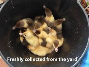 IT'S RAINING BABY DUCKLINGS! Muscovy Pet Ducklings for Sale Dublin Mallala Area Preview