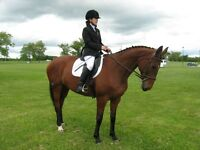 Dressage horse for sale, lease or part board