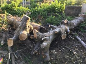 Free tree trunks (for fire wood)