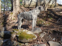 IRISH WOLFHOUND PUPPIES: CKC registered; READY NOW!