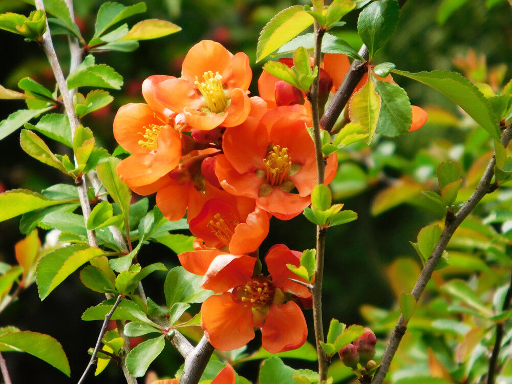 Japanese Quince Chaenomeles /× superba Orange Trail 20-30cm Tall in 2L Pot 3fatpigs