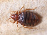 Participants Needed - Bed Bug Study 1218