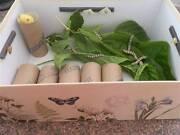 Silkworm Kits Gosnells Gosnells Area Preview