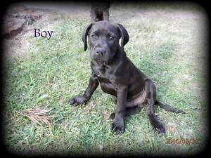 Male German shorthaired pointer X Staffy $300 Grafton Clarence Valley Preview