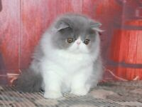 3 Persian cat for sale