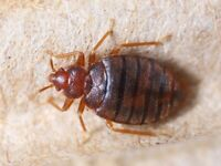 Participants Needed - Bed Bug Study 1264