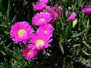Pink Flowering Pigface Plants