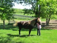 Rocky Mountain Horse For Stud Service