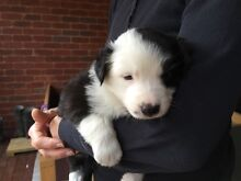 Border Collie Puppies for Sale - Last one of the litter Sedgwick Bendigo Surrounds Preview