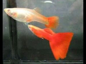 Young albino full red guppy pairs/couples