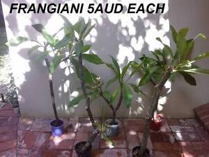 40-60CM TALL WHITE FRANGIPANI $5 EACH @mie Inglewood Stirling Area Preview