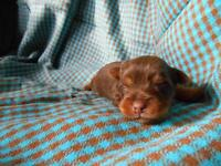 CHOCOLATE YORKSHIRE TERRIER PUPPIES