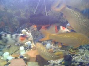 Japanese Koi for sale AVAILABLE 2017 SPRING