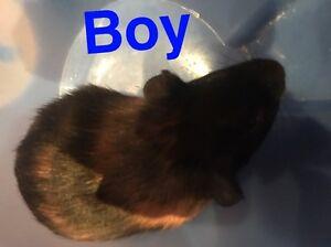 Guinea pigs for sale !! Belmore Canterbury Area Preview