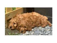 Red Cockapoo boys available