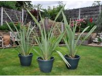 Plants for sale. New Zealand Flax (Phormium)