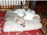 Chihuahua cross pups
