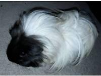 Female baby guinea pig