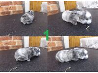 Baby Rabbits for Sale - Yorkshire Dwarf - FREE DELIVERY