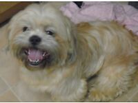LOVELY MALE KC SHIH TZU