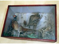 RARE Taxidermy case containing Kestrel, Red squirrel and pheasant. Victorian/Edwardian