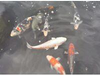 Koi (ornamental fish)
