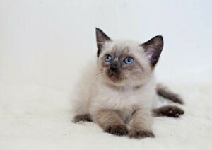 Ragdoll Siamese cross - ragamese kittens ready for loving